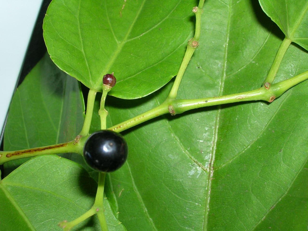 El fruto del Cissus verticillata es negro