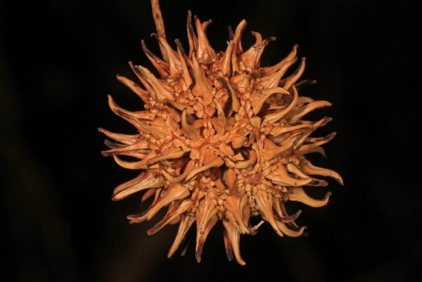 El fruto del liquidambar es redondeado y muy curioso