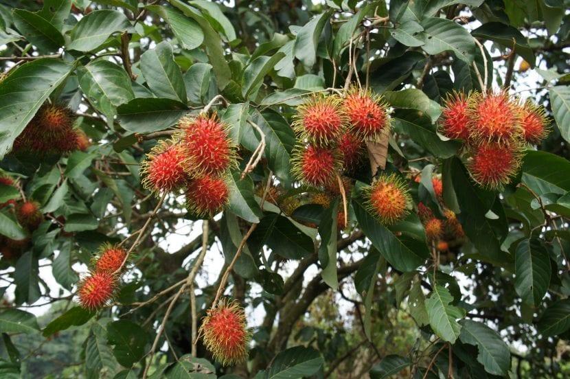 El fruto del rambután es comestible