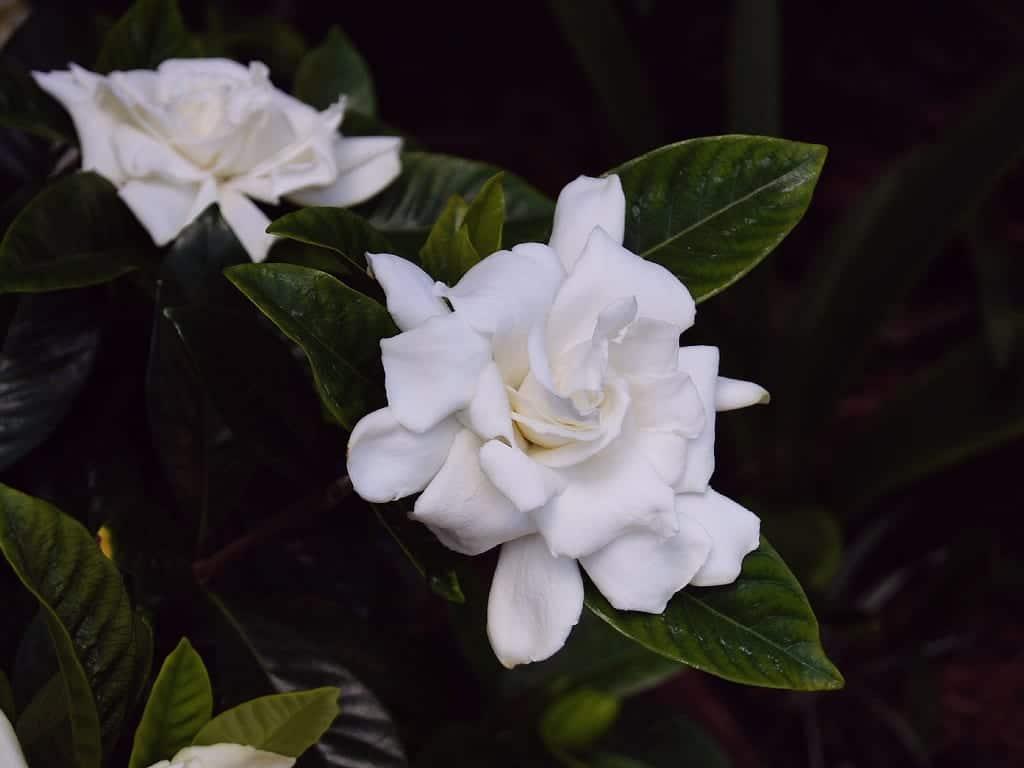 Las flores de la gardenia son blancas y olorosas