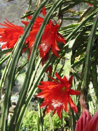 Heliocereus speciosus en flor