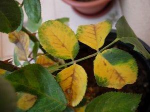 hojas con clorosis o falta de hierro