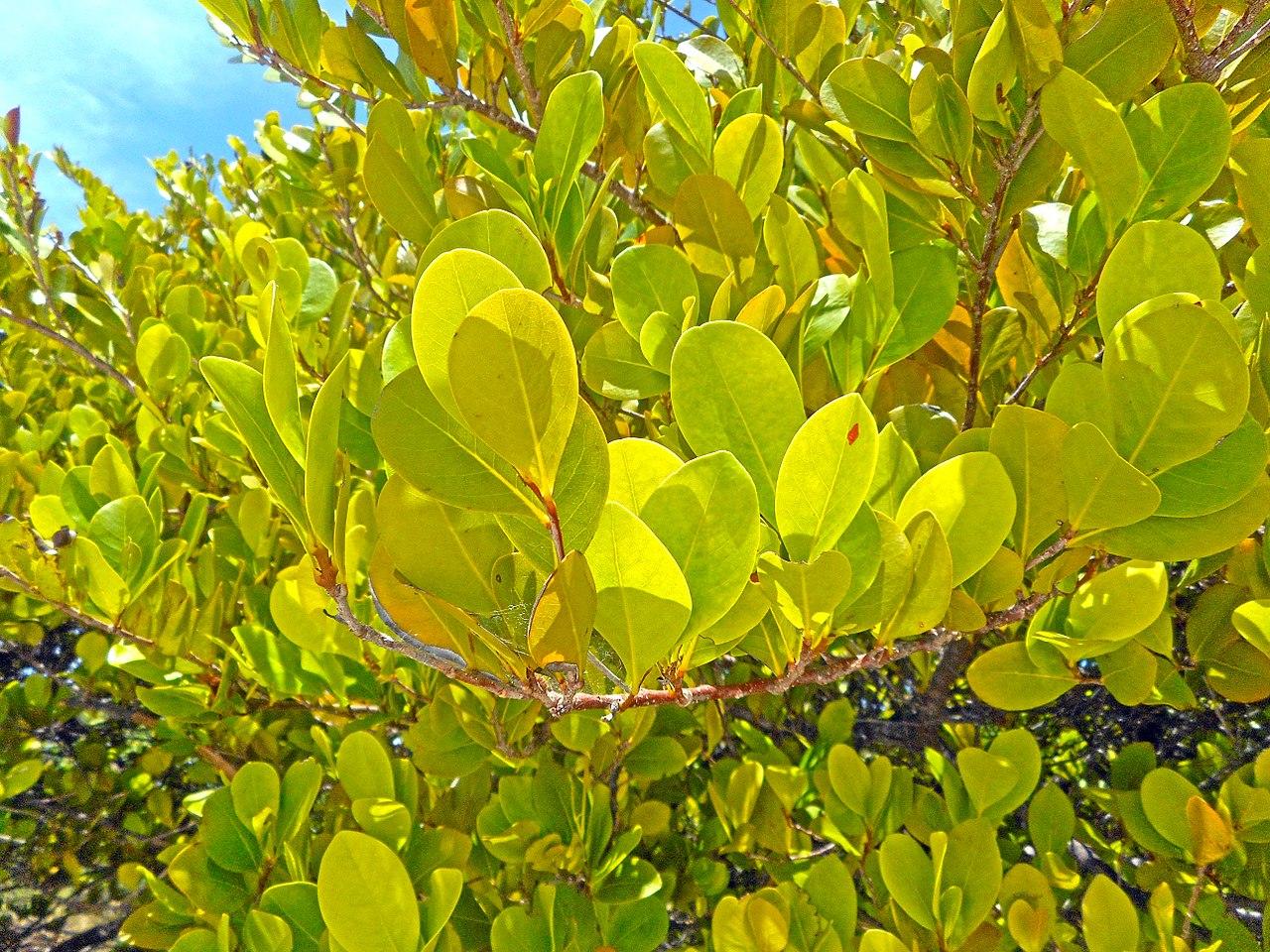 Las hojas del icaco son perennes