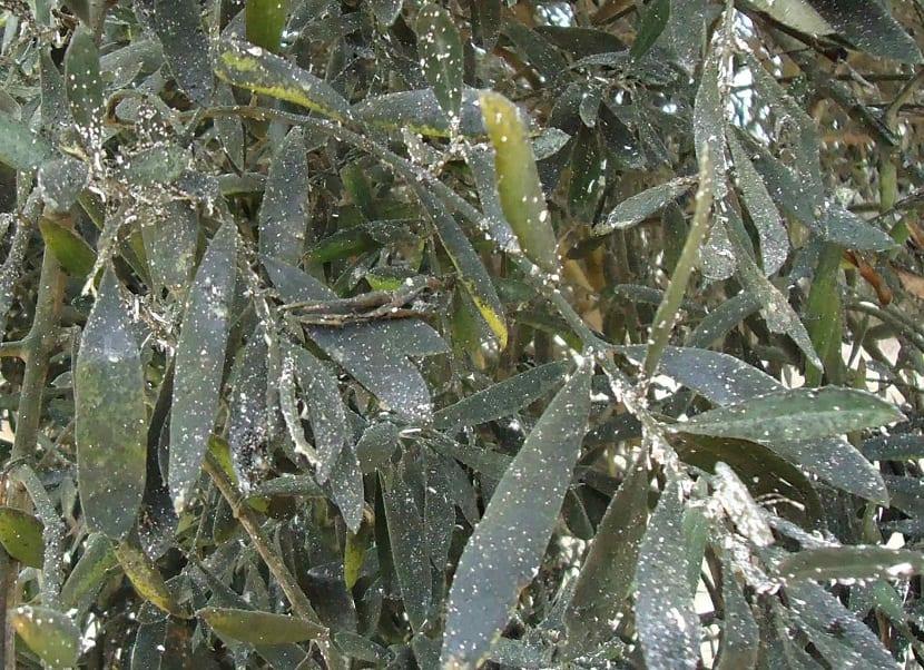 Verticilosis del olivo