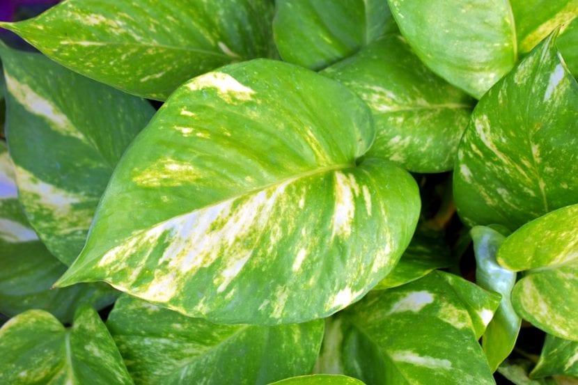 Las hojas del poto son verdes y grandes