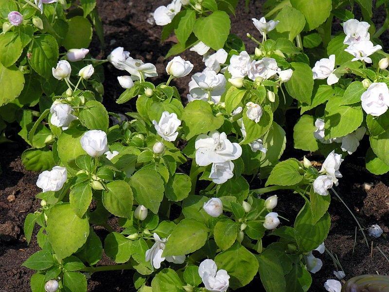 La Impatiens tiene flores de diversos colores