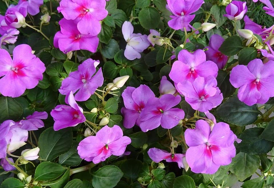 La flor lila de la Impatiens es muy decorativa
