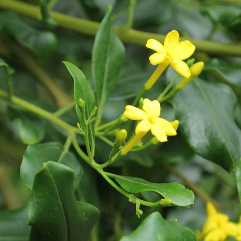 Flores de Jasminum odoratissimum