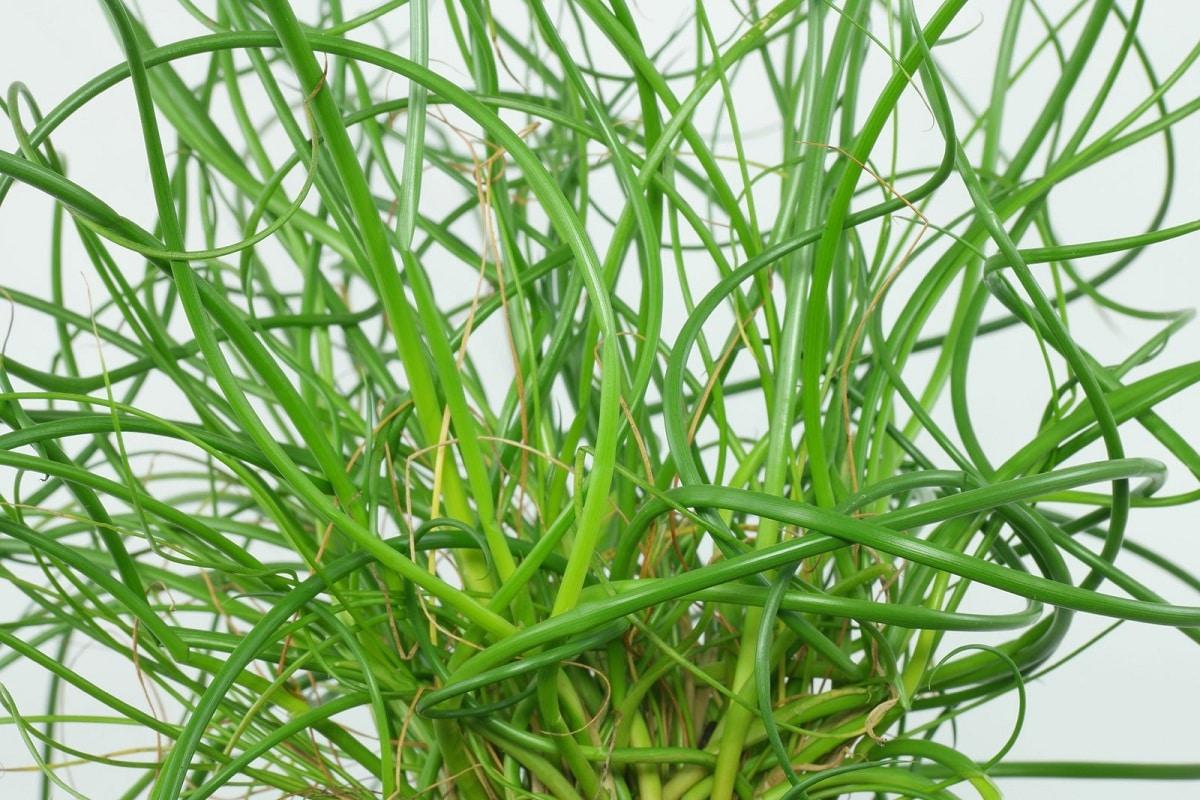 el junco es una planta acuática