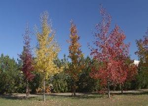 El liquidambar es un árbol magnífico