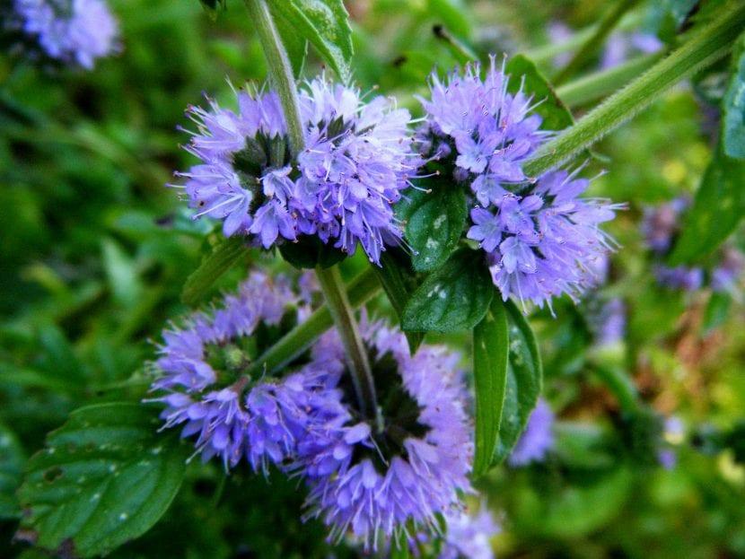 Las flores de la menta poleo son lilas
