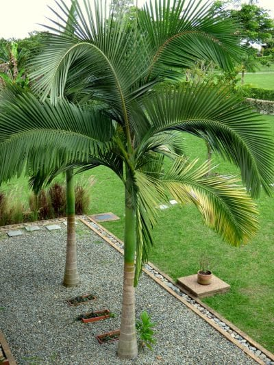 La palmera alejandra es muy ornamental
