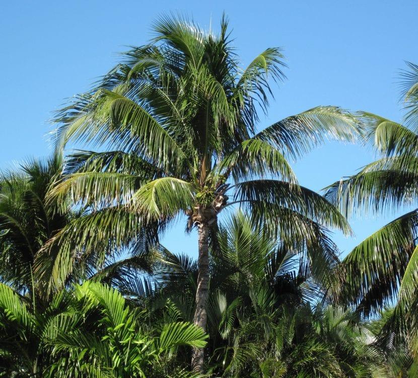 El cocotero puede superar los diez metros de altura