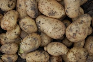 Descubre las diferentes plagas de la patata