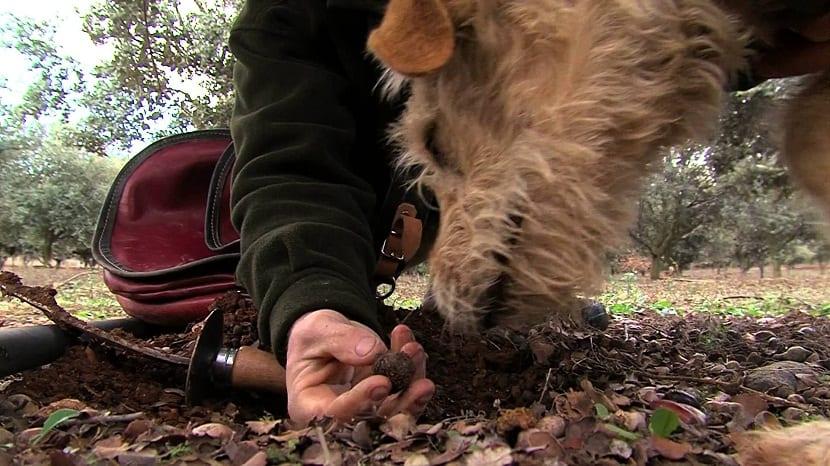 Cultivo de trufa