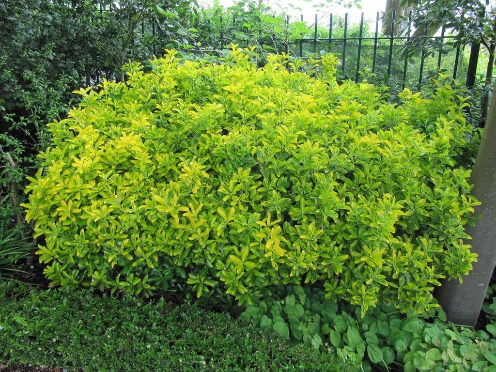 La planta del evónimo se usa mucho como seto bajo