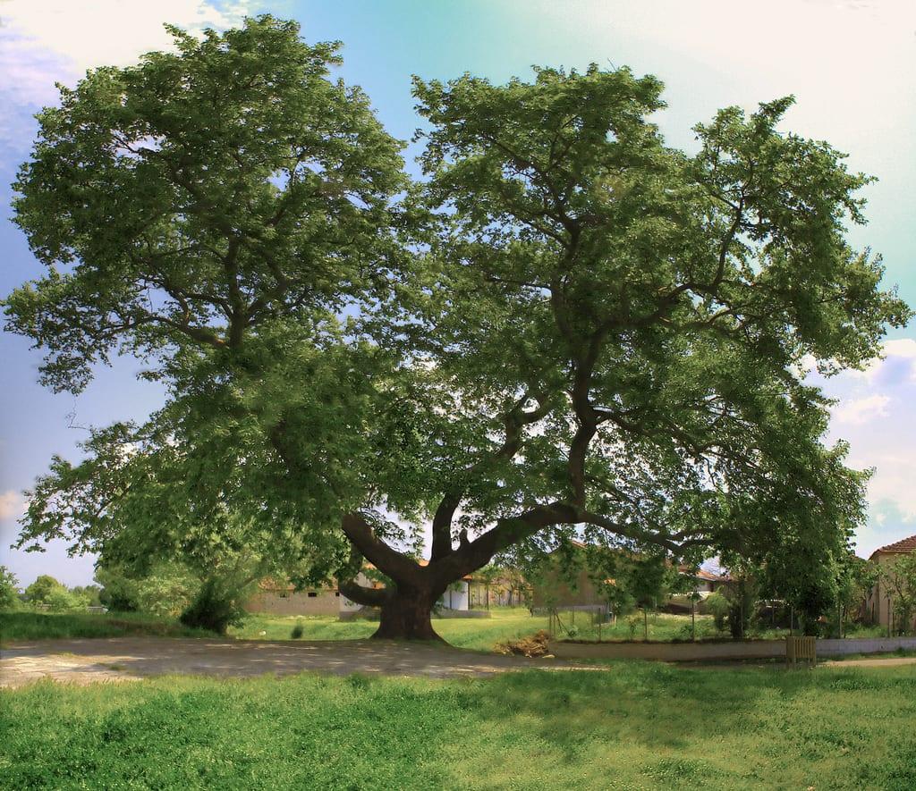 Vista del árbol de Platanus orientalis