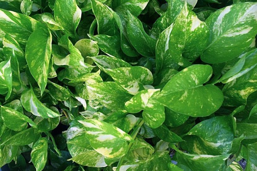 El potos es una planta sensible al frío