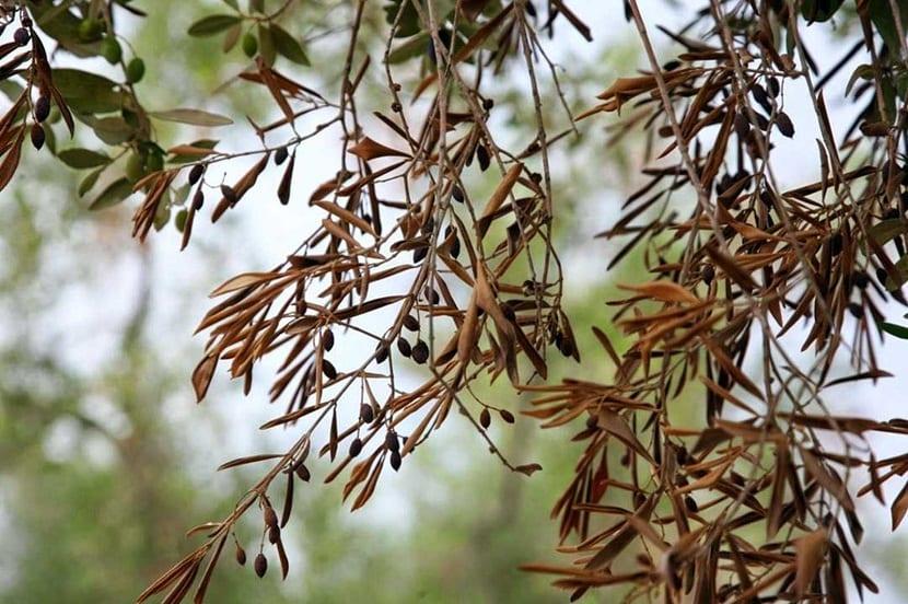 la mosca del olivo es una de las plagas que afectan con mayor frecuencia a este tipo de arboles