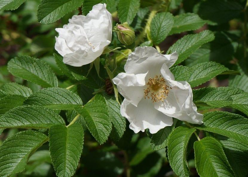 La Rosa rugosa es un arbusto precioso y fácil de cuidar