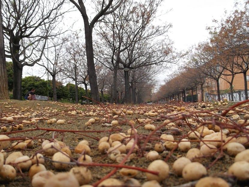 semillas de cinamomo
