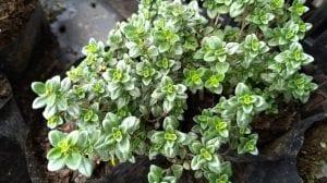 El tomillo limonero es una hierba aromática