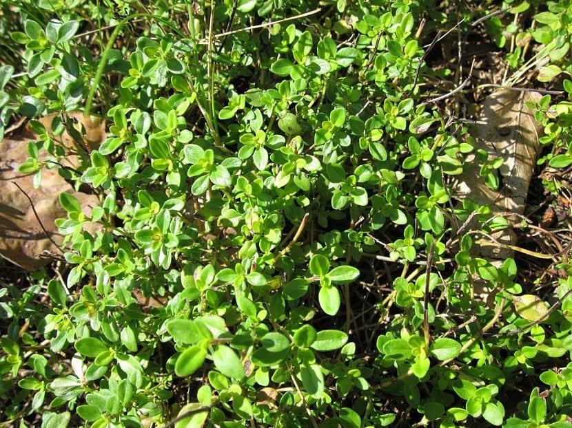 El tomillo limonero se caracteriza por ser una planta cuya altura máxima no sobrepasa los 30 cm