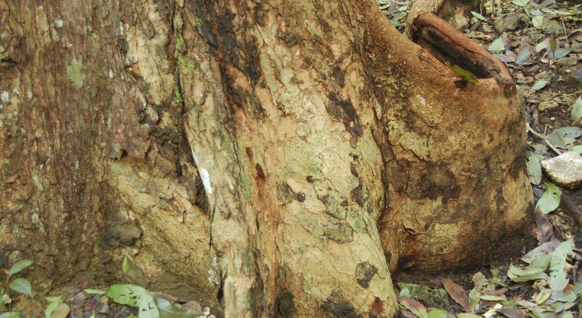 La caoba se usa mucho por su madera