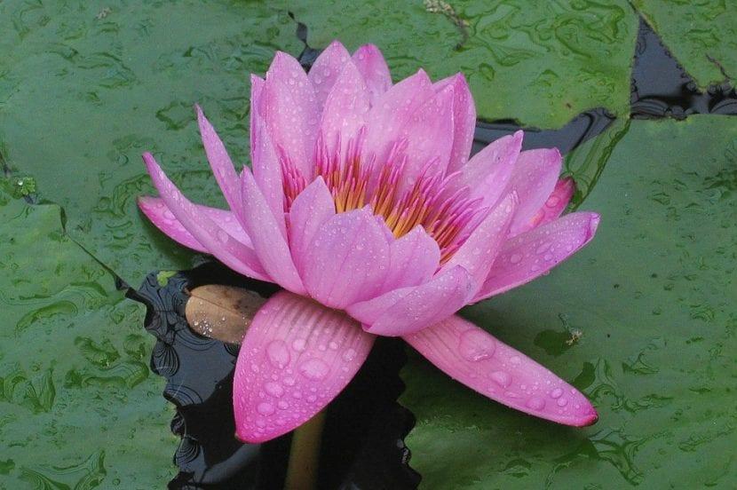 Victoria amazonica en flor