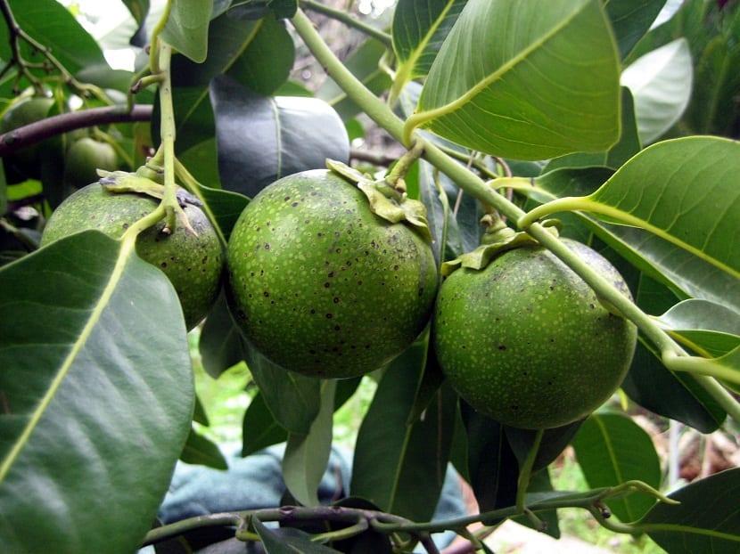 zapote blanco en una rama madurando