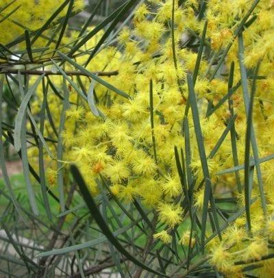 Acacia cognata en flor