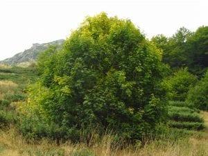 Acer heldreichii