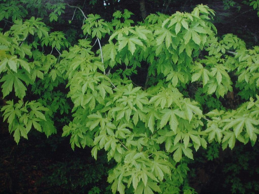 Acer heldreichii ssp visianii