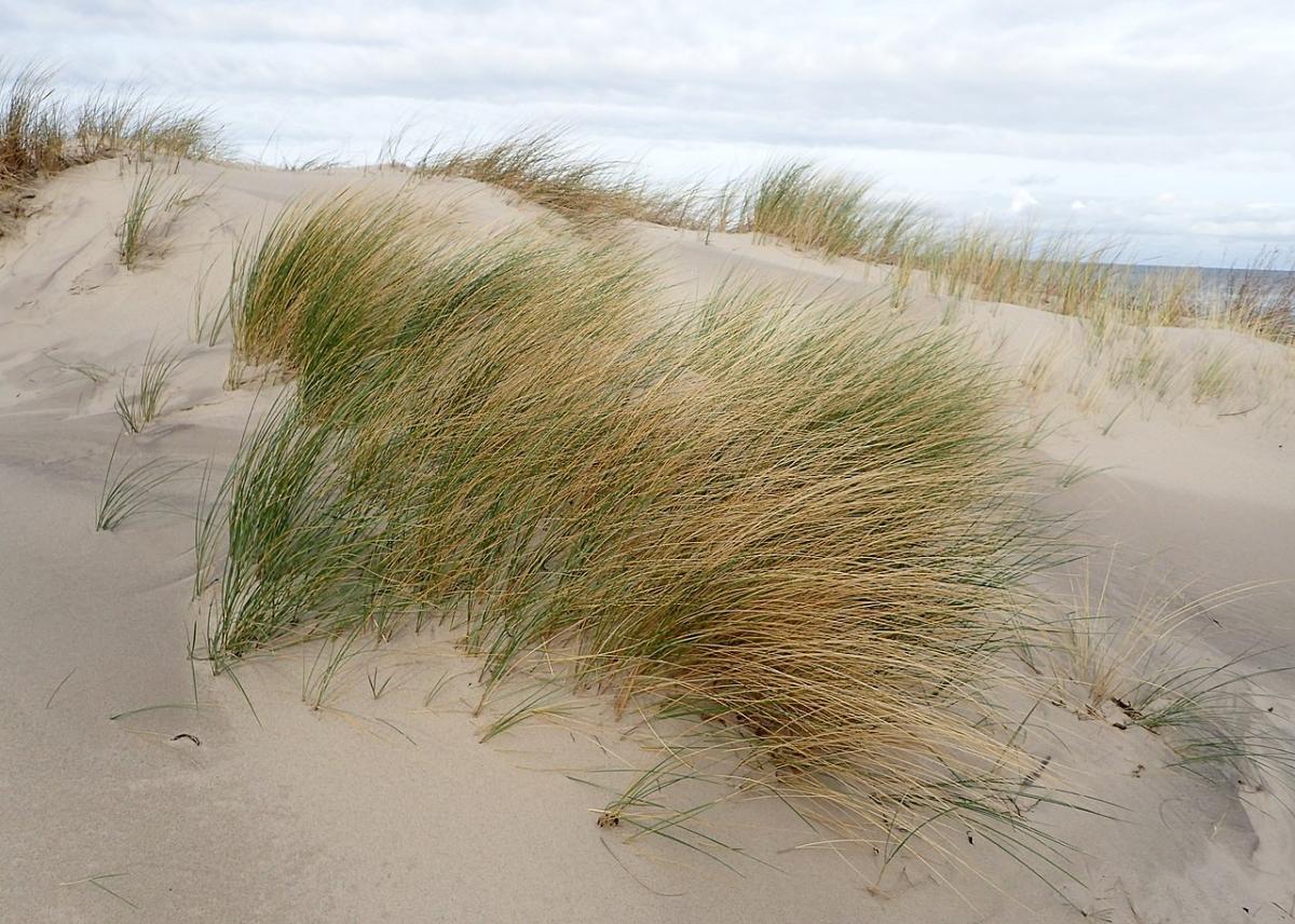 Las halófitas son plantas que viven en terrenos arenosos