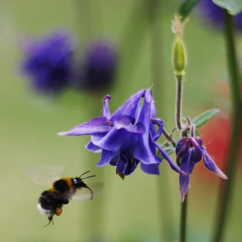 La Aquilegia vulgaris es una planta con gran valor ornamental