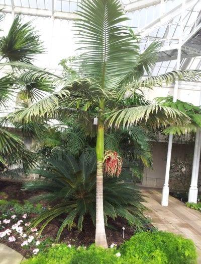 La Archontophoenix cunninghamiana es una palmera muy elegante