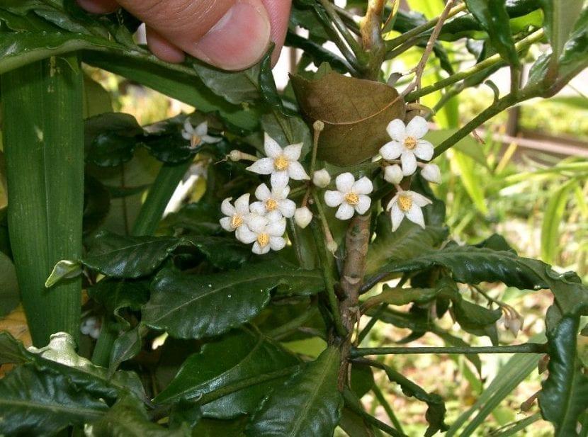 Flores de la Ardisia crenata