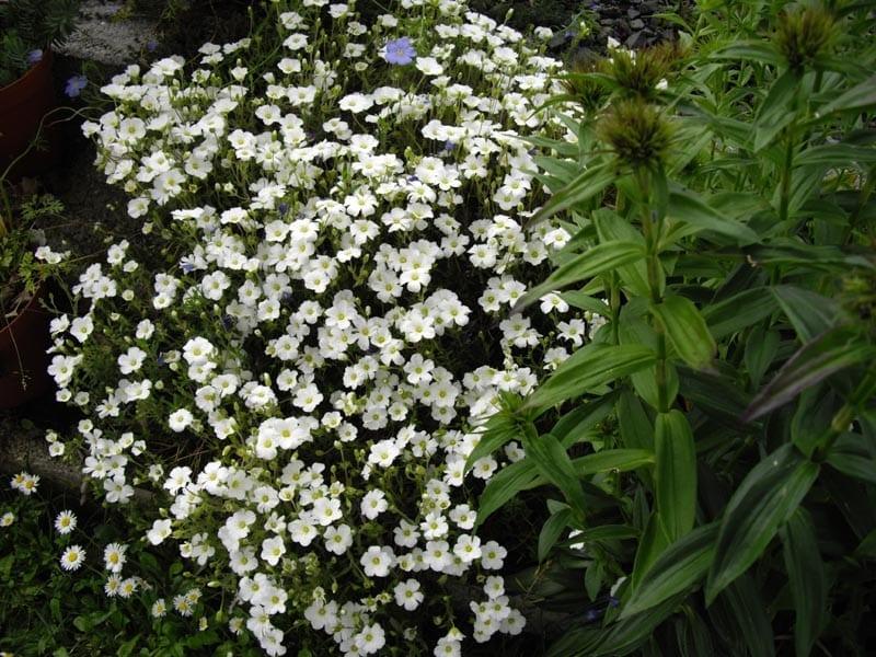 La Arenaria montana combina muy bien con otras plantas