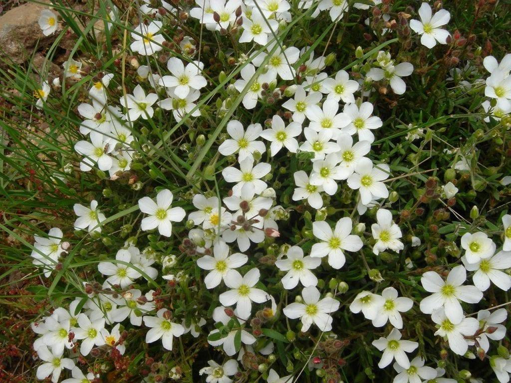 Las flores de la Arenaria montana son de color blanco