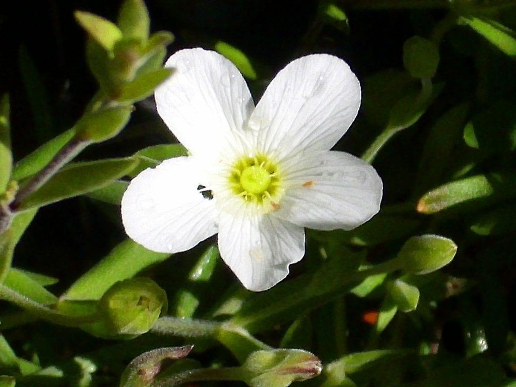 La flor de Arenaria montana es muy ornamental