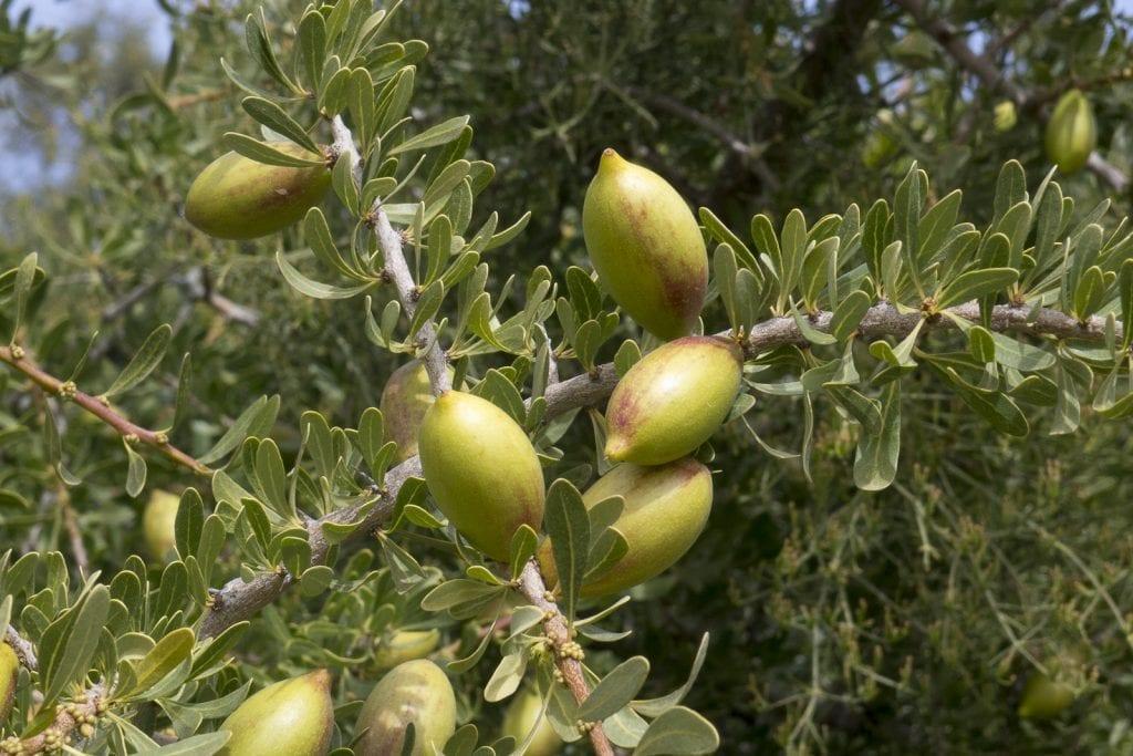 Frutos de la Argania spinosa