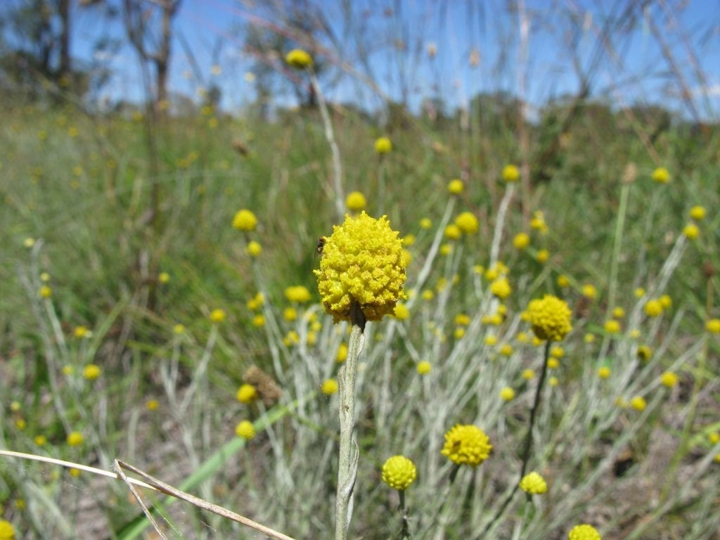 Las flores del Calocephalus son pequeñas pero llamativas