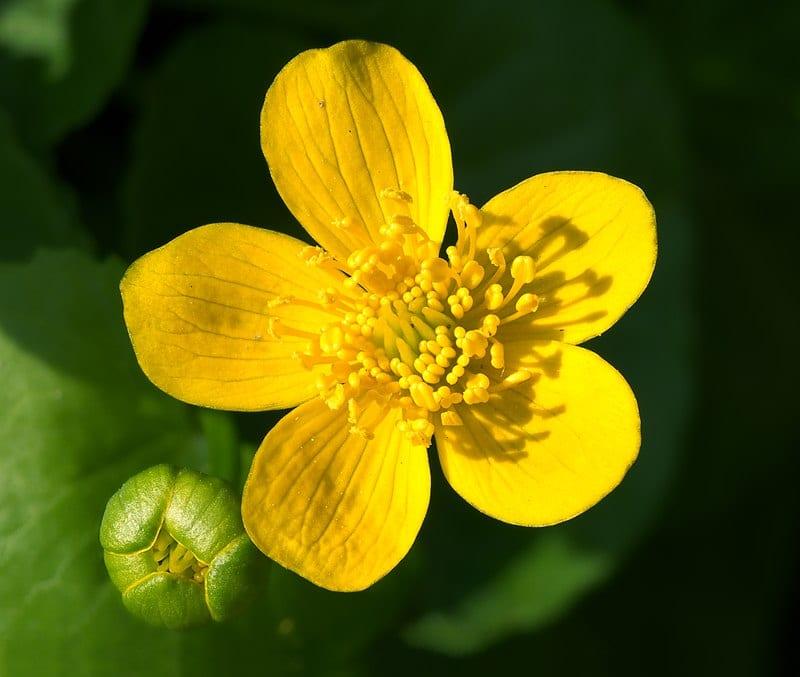 Flor Caltha palustris