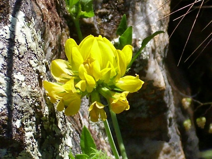 Flor de Coronilla juncea