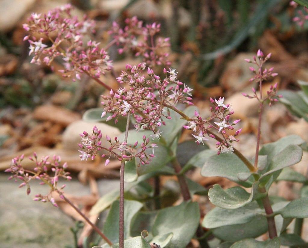 Flores de Crassula multicava
