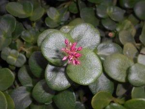 Crassula multicava subsp multicava
