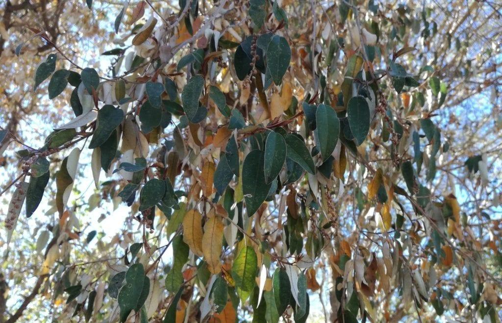 Croton gratissimus