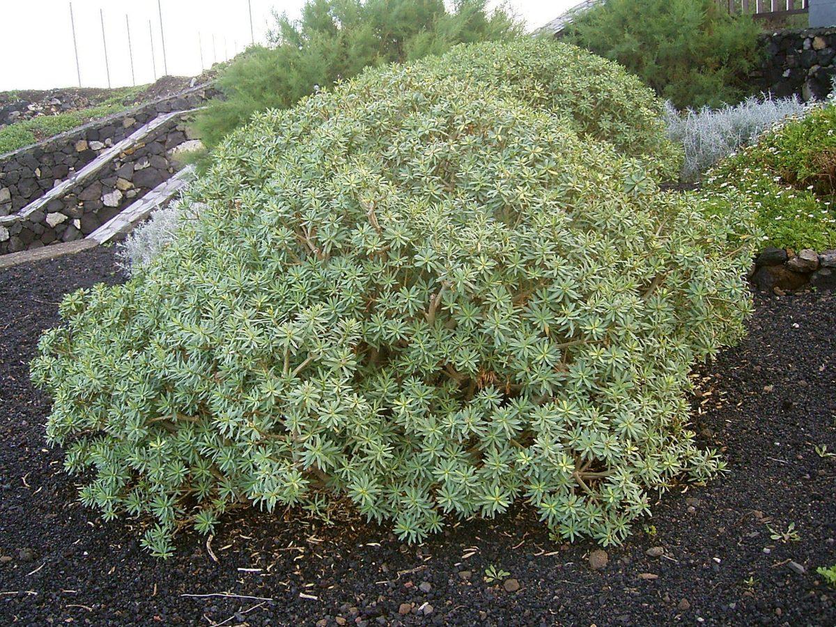 Euphorbia balsamifera, un arbusto