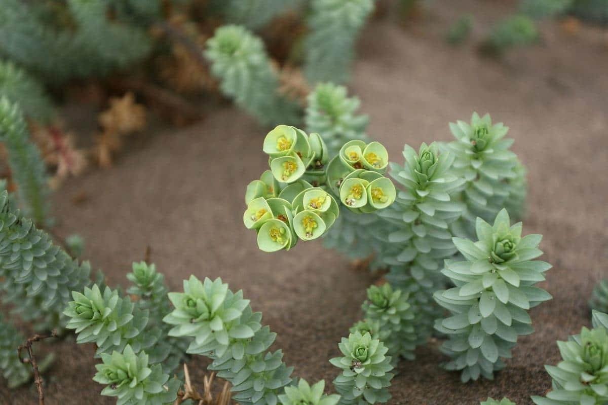 La Euphorbia paralias es una hierba que vive en la costa