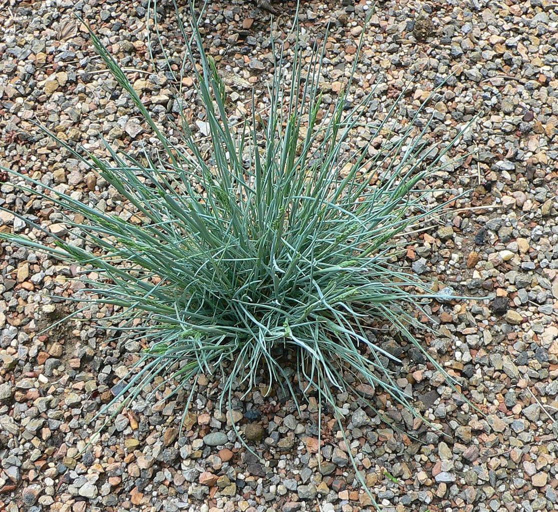 La planta Festuca glauca tiene las hojas azules